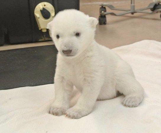 Медвежонок из Торонто учится ходить