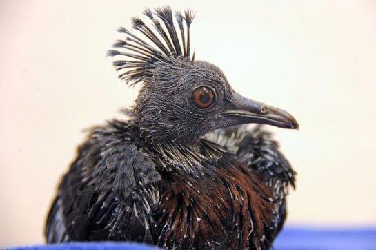 В зоопарке Майами впервые вылупился венценосный голубь