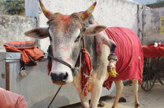 В Индии поклоняются пятиногому бычку