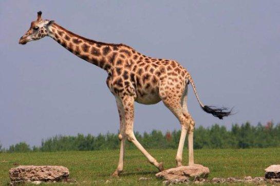 Когда и почему появились жирафы с длинной шеей