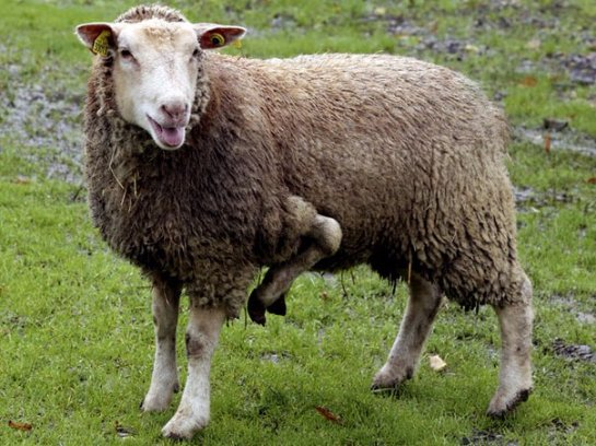 Уникальной пятиногой овце ищут хозяина