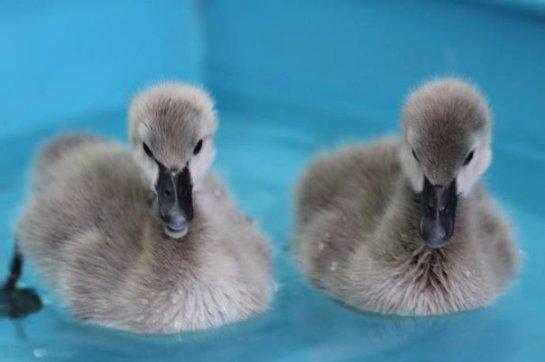 В Красноярском парке флоры и фауны появилось потомство чёрных лебедей