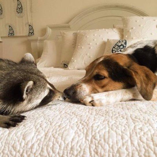 Енотиха подружилась с собаками