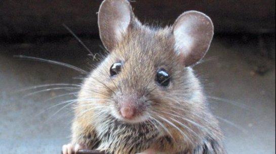 Британский парламент переживает нашествие мышей