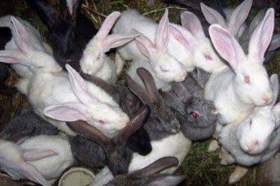 Кролики- угроза для острова