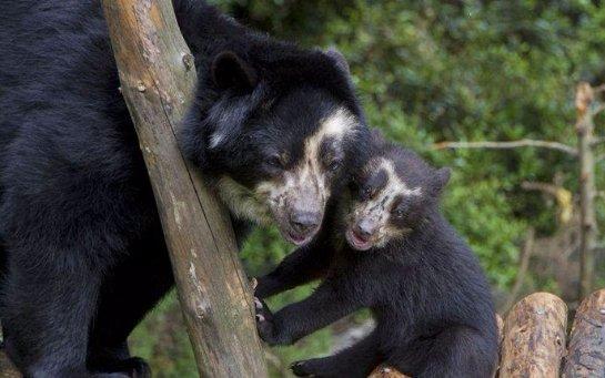 Посетителям бельгийского зоопарка показался новорожденный медвежонок