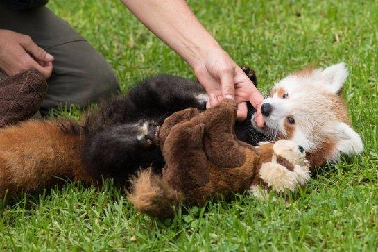 Красная панда отказалась от своего детёныша