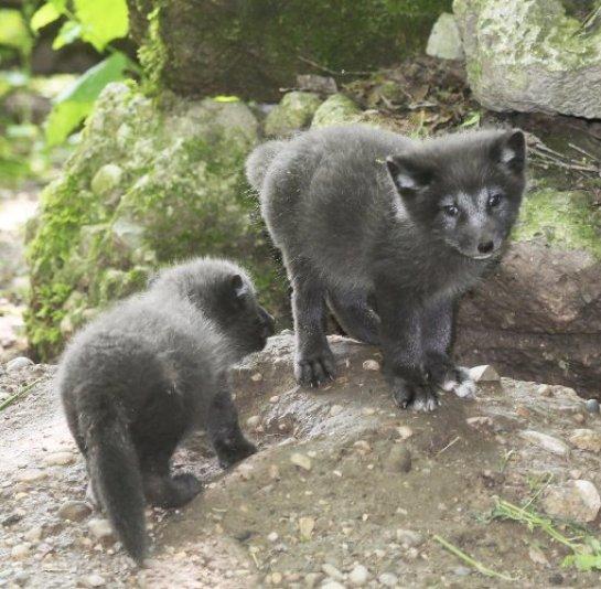 В немецком зоопарке родились детёныши песца