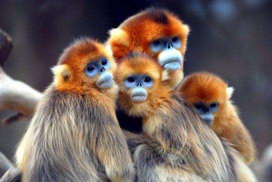 В китайском парке Шэньнунцзя возросла популяция золотистых курносых обезьян