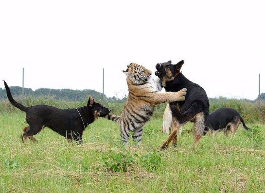 Тигры подружились с овчарками