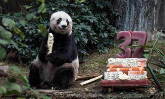 Панда-долгожитель отметила 37-летие