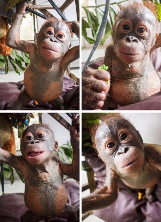 В Индонезии спасли маленького орангутанга