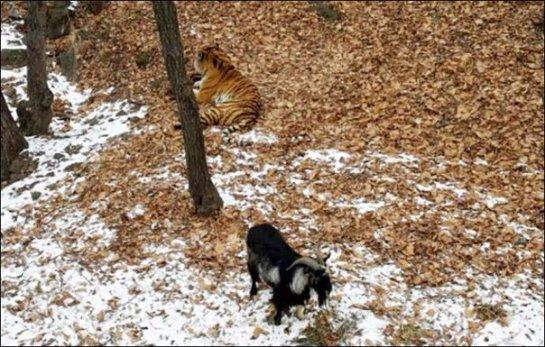 Тигр подружился с козлом
