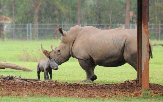 В Австралии на свет появились южные белые носороги