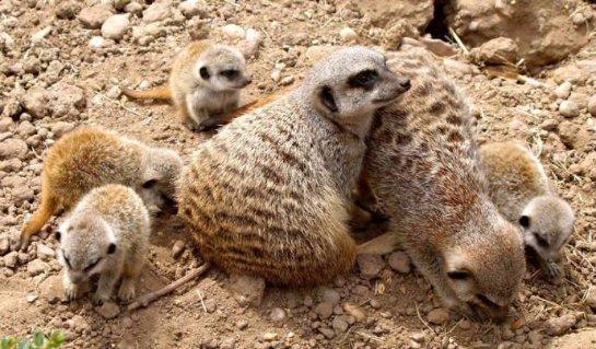 В английском зоопарке пополнение в семье сурикатов