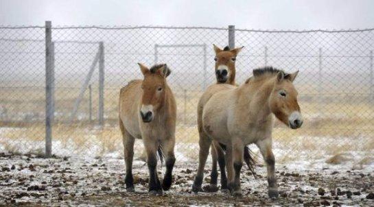 В Оренбургском заповеднике на вольное пастбище выпустили лошадей Пржевальского