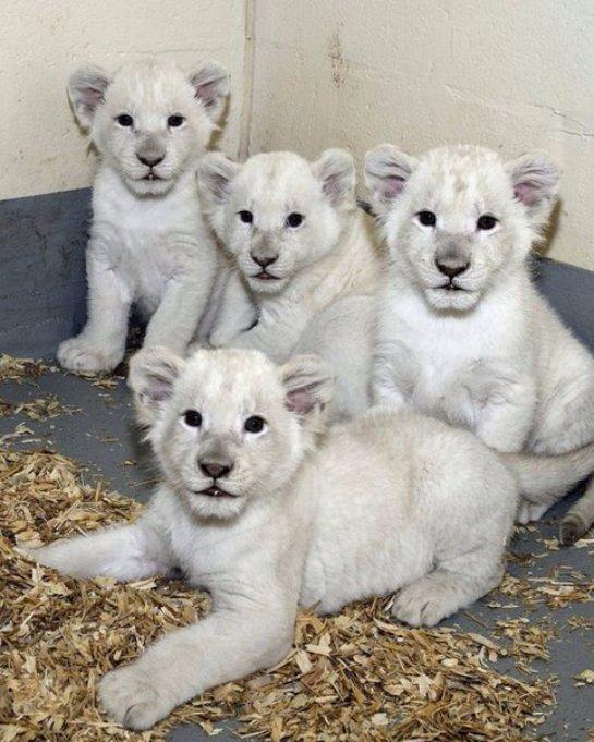 Белые львята родились в зоопарке Торонто