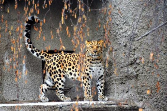 Дальневосточный леопард пополнил коллекцию Московского зоопарка