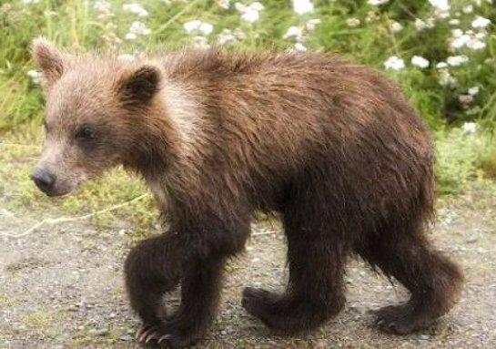В Свердловской области спасли двух медвежат