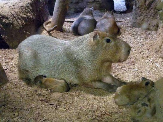 В зоопарке Кливленда родились капибары