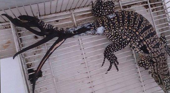 В Аргентине ящерица побила рекорд по регенерации