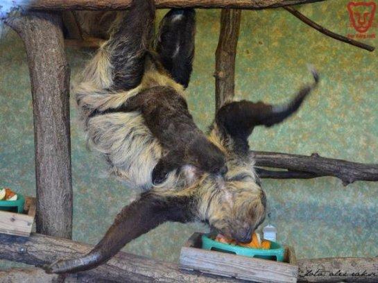 Всё о ленивцах