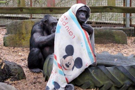 Самка шимпанзе научилась защищаться от холода с помощью одеяла