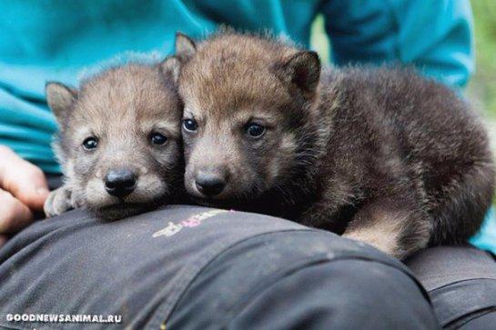 В норвежском зоопарке публике представили двух серых волчат