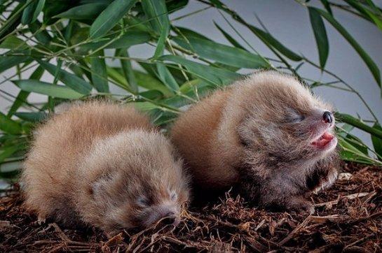 В зоопарке Алабамы пополнение в семействе красной панды