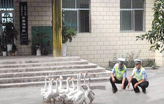 Гусей взяли на работу в китайскую полицию