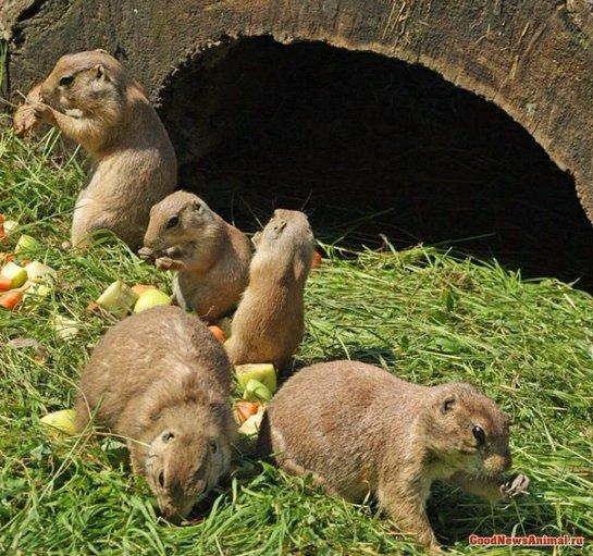 В австрийском зоопарке в семье луговых собачек прибавление