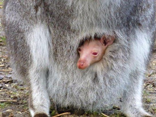Кенгуру-альбинос родился в английском зоопарке