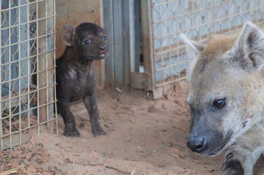 В австралийском зоопарке гиене сделали кесарево сечение