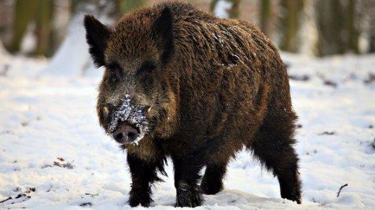 Дикая свинья охраняет дом