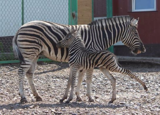 Два детеныша зебры появились на свет в Красноярском зоопарке