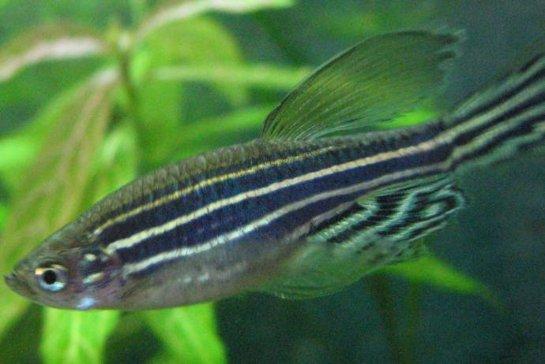 Рыбы способны испытывать «эмоциональную лихорадку»