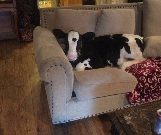История про теленка, который ведёт себя как собака