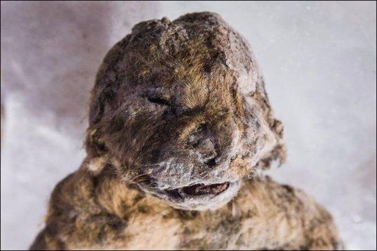 Уникальные останки пещерных львят показали общественности