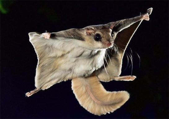 Коротко о белке- летяге