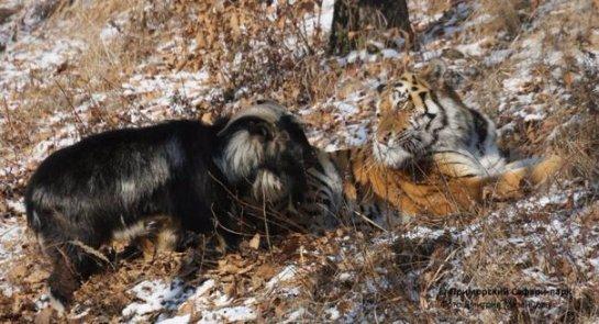 В Приморском зоопарке подружившихся тигра и козла решили разлучить