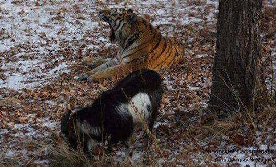 Продолжение истории про дружбу тигра Амура и козла Тимура
