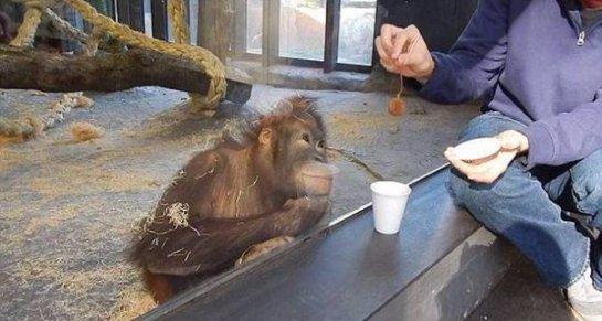 Реакция орангутанга на фокус