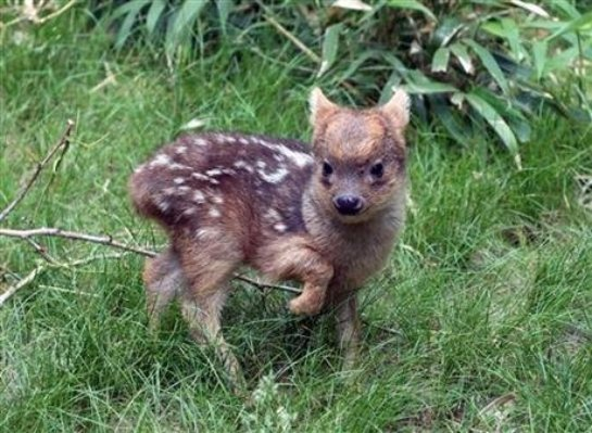 В США появился на свет  самый маленький в мире оленёнок