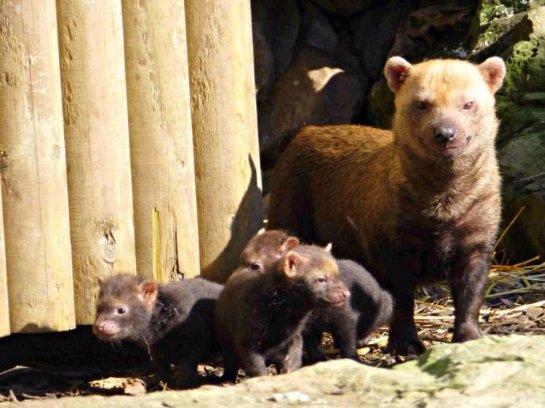 Три щенка кустарниковой собаки появились на свет в английском зоопарке