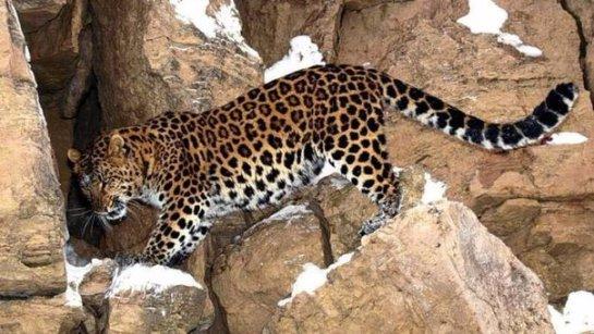 В Дагестане появился переднеазиатский леопард