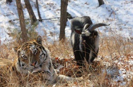 Тигр Амур и козёл Тимур играют друг с другом