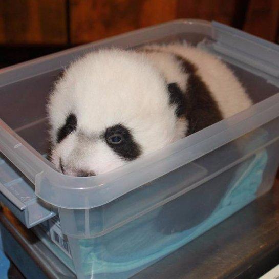 В Смитсоновском зоопарке журналистам показали детёныша панды