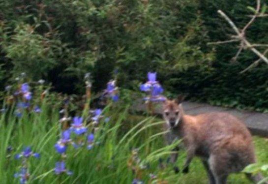 К британцу залез во двор кенгуру