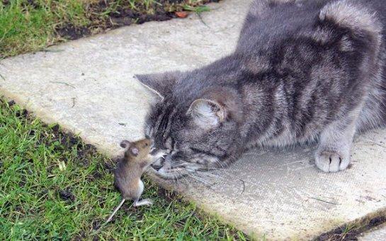 Мышь побила кота