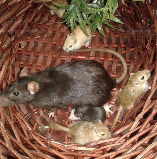 Крыса усыновила мышат